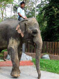 Die meisten der Elefanten sind ehemalige Arbeitselefanten, sind verwaist oder haben ihren Lebensraum in der Wildnis verloren.