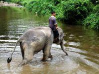 Manche der Tiere verbleiben im Conservation Center. Besucher können mit den Elefanten im Fluss baden, reiten, Bananen füttern und Fotos schießen.